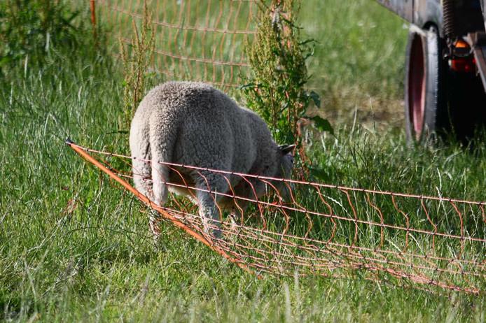 Eén schaap kwam vast te zitten