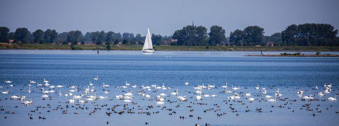 Overal waar je kijkt langs het Haringvliet zwemmen witte zwanen.