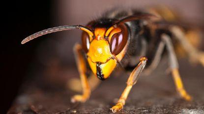 Nieuwe wespensoort gespot in Vlaanderen en dat is slecht nieuws voor onze bijen
