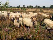 Grazende schapen op Sallandse Heuvelrug en in Wierdense Veld