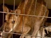 'Winterswijkse' wallaby is gezond, maar in matige conditie