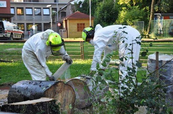 Diest in Vlaams-Brabant kreeg er ook al mee te maken. Daar werden twee aangetaste esdoorns voorzichtig omgezaagd en in folie gewikkeld, door arbeiders met mondmaskers en veiligheidspakken aan.