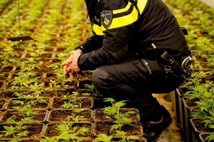 Een politieagent inspecteert hennep stekjes in een hennepkwekerij tijdens een politieactie. Foto ter illustratie