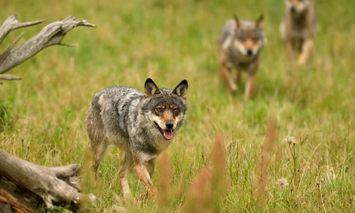 Een roedel wolven op jacht.