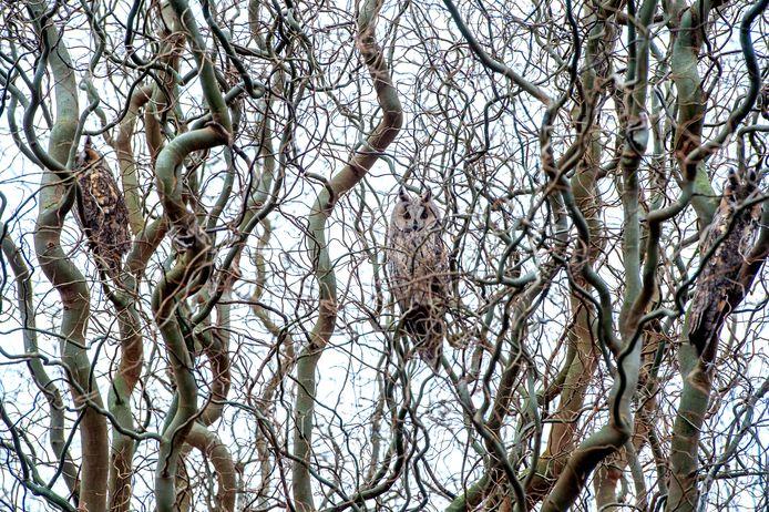 Drie (van de zeven) ransuilen in de wilgenboom in Deest.