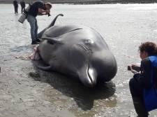 Butskoppen die dodelijk gewond raakten in Zeeland gaan naar Naturalis