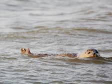 Dode zeehonden aangetroffen op strand Rockanje