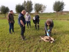 Jan (74) was erbij toen een schaap werd gegrepen in Ooij: 'Was het een wolf? Ik ben er kapot van'