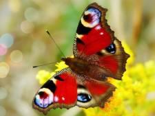 Zo zorg je volgens de Vlinderstichting voor een vlindervriendelijke tuin
