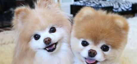 Schattigste hond ter wereld sterft van verdriet: 'Zijn hart is letterlijk gebroken'