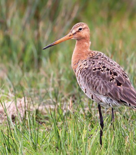 Vogelbescherming: Hoogste tijd voor landelijk onderzoek naar weidevogelbescherming<br><br>