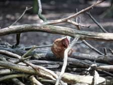 Onrust om verdwenen hanen op De Beek in Halsteren: 'Al die boosheid voelt bedreigend'