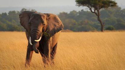 Trieste balans: vier olifanten per dag gedood in natuurreservaat