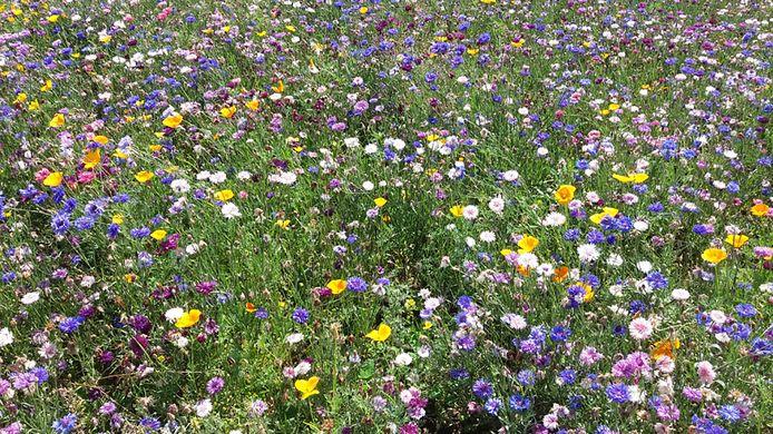 De NLGR en uilenwerkgroep pleiten onder meer voor het inzaaien van meer velden met nectarrijke bloemen om insecten te helpen te overleven.