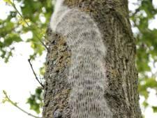 Staatsbosbeheer waarschuwt voor eikenprocessierups, Alblasserbos gaat niet bestrijden