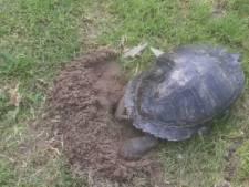 Verrassing op de middenstip: schildpad legt eieren op het veld bij VV Asperen