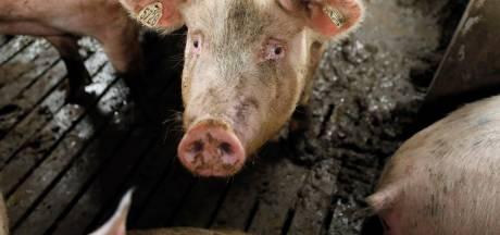 Varkenshouders willen dankzij subsidie massaal stoppen met boeren