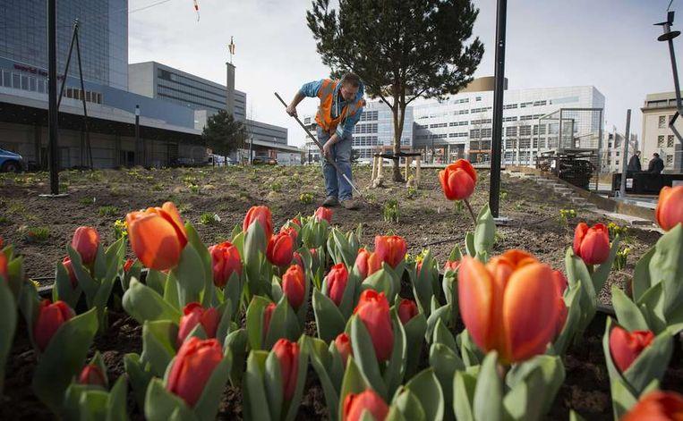 Tuinman harkt netjes de oranje tulpen aan in de tuin van het World Forum Beeld ANP