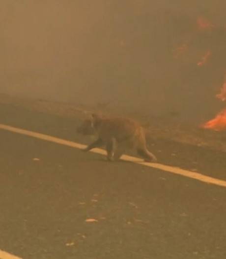 Australië neemt maatregelen voor beschermen koala wegens bosbranden