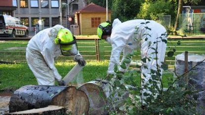 Boom in Doorniksewijk in Kortrijk aangetast door schimmelziekte, die ook schadelijk is voor mensen