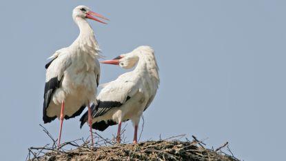 Ooievaars krijgen meer nestpalen