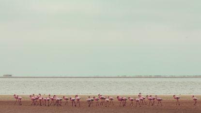 Droomjob alert: betaald worden om flamingo's te verzorgen op de Bahama's