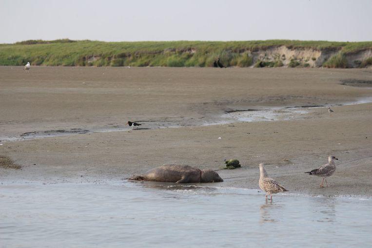 De zeehond spoelde aan bij de oevers van de havengeul, aan het natuurgebied IJzermonding.