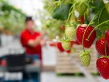 Aardbeienteler Steenwijkerland definitief veroordeeld voor uitbuiting Slowaakse seizoenswerkers