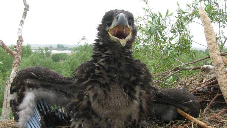 Een jonge zeearend in een nest. Beeld anp