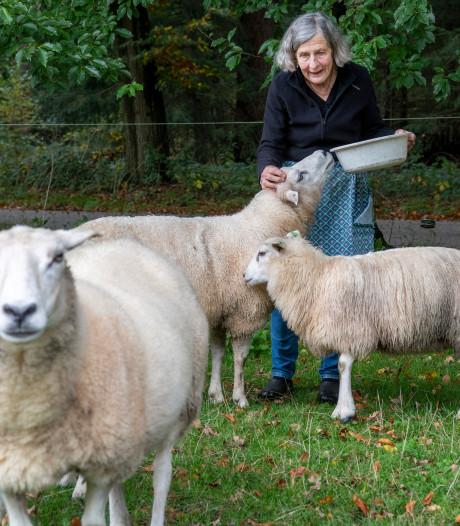 Bange schapenhouders in buurtschap bij Apeldoorn weren zich tegen de wolf