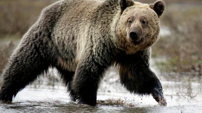 Beer valt jongetje van tien aan in Yellowstone National Park, ouders moeten berenspray bovenhalen