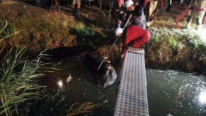 Stier van 1.100 kilogram uit gracht gered