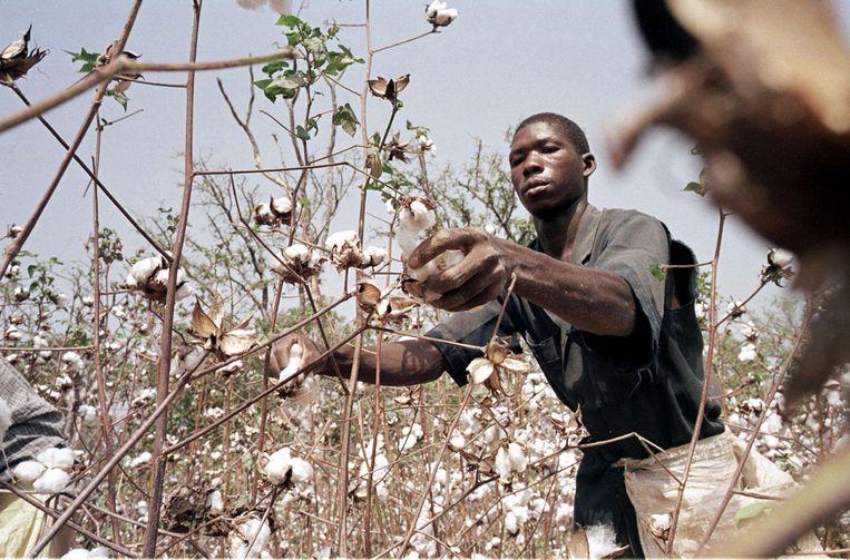 Een Ivoriaanse katoenplukker aan het werk. Beeld AFP