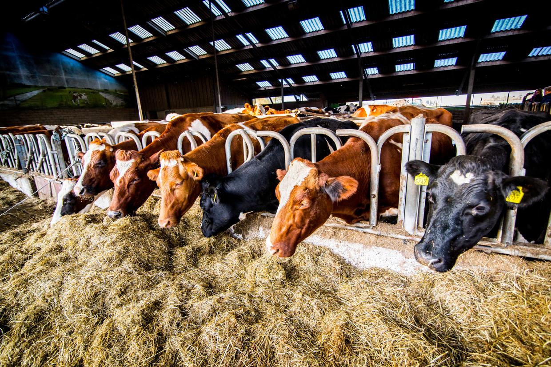 Door minder krachtvoer voor koeien toe te staan, wil minister Schouten de stikstofuitstoot van de melkveehouderij verminderen. Boeren vinden dat zij daardoor te afhankelijk worden van ruwvoer zoals gras en hooi.