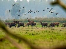 Raad van State: Afschieten van 1000 herten in Oostvaardersplassen mag wel