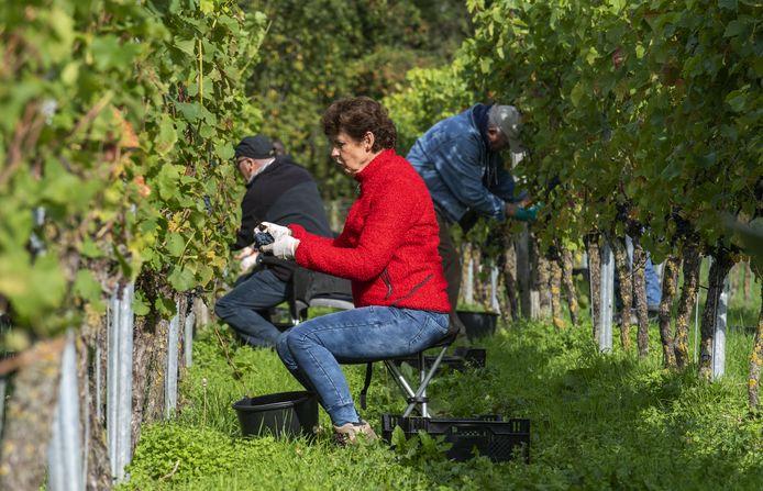 Druivenoogst bij wijngaard Hof van Twente aan de Knoetenweg.