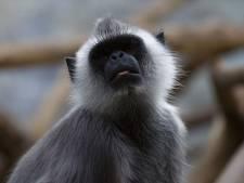 Mannen filmen hoe ze met uitsterven bedreigde aap levend oppeuzelen