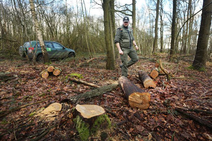 Een boswachter van Staatsbosbeheer treft illegaal omgehakte bomen aan. Waarschijnlijk is het hout meegenomen door mensen die hout nodig hebben voor de open haard.