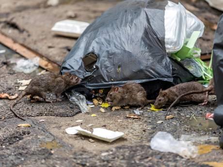 Hoge boetes voor voeren dieren in Moerwijk en Mariahoeve: 'Het is hier een rattenwalhalla'