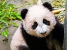 Geslacht van Ouwehands' pandajong Fan Xing is bekend: 'Maakte eigenlijk niet uit wat het zou worden'