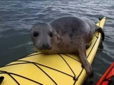 Verrassend gezelschap voor groep kajakkers als zeehond achterop klimt