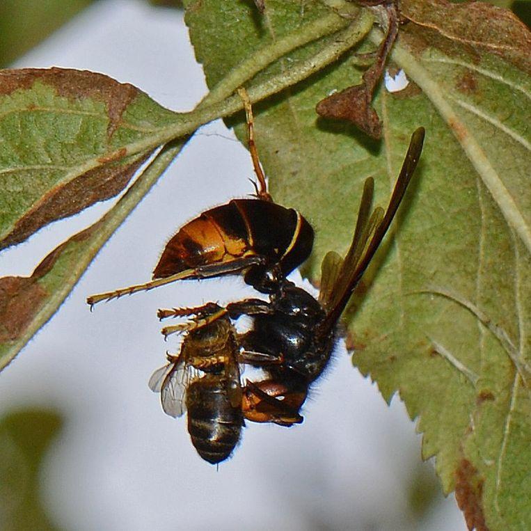 De Aziatische hoornaar is een  vrij zwarte wesp met gele uiteinden aan de poten en een oranje-gele streep net voor het einde van het achterlijf.