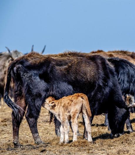 Vermagerde runderen Oostvaardersplassen krijgen extra hooi