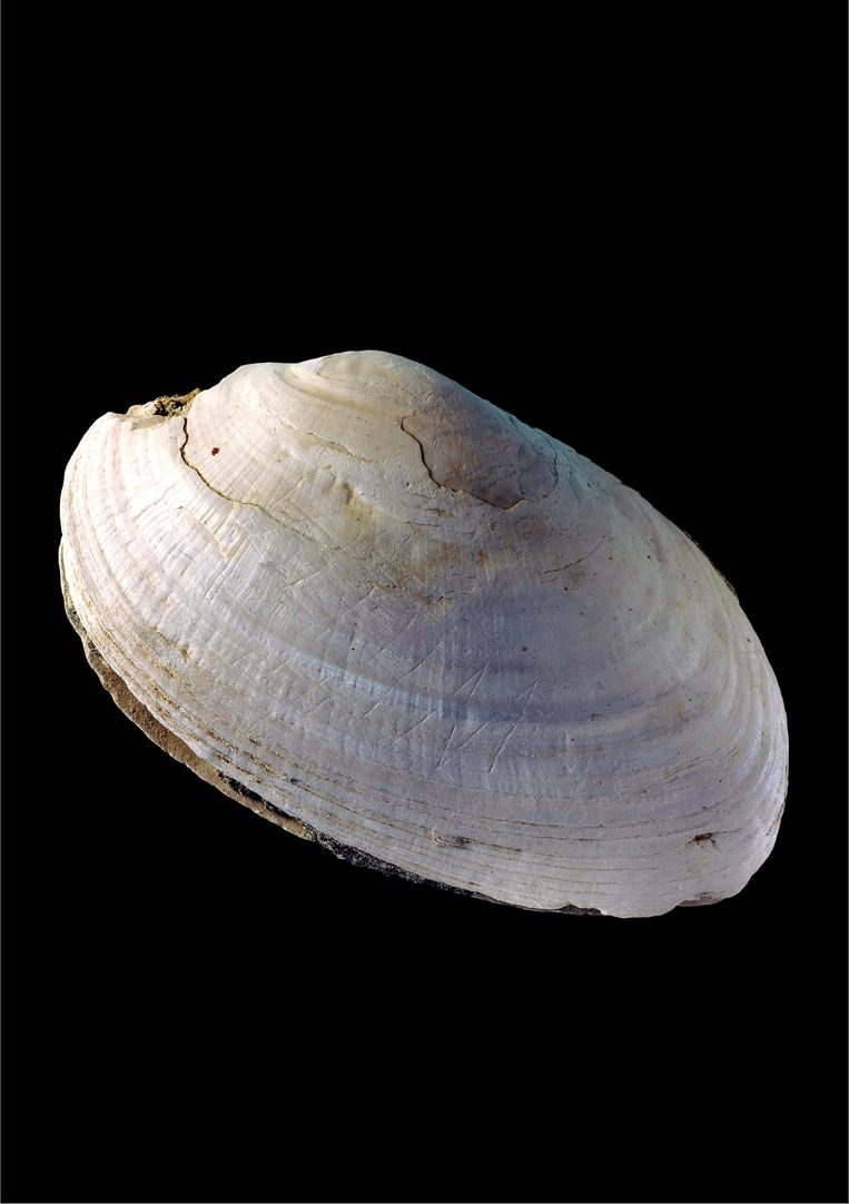 De bekraste schelp. Beeld Wim Lustenhouwer, VU University Amsterdam