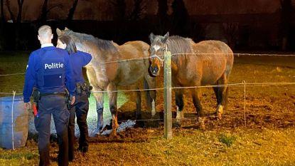 Uitgebroken paarden lopen twee dagen op rij Oudenaardsesteenweg (en bijna E40) op