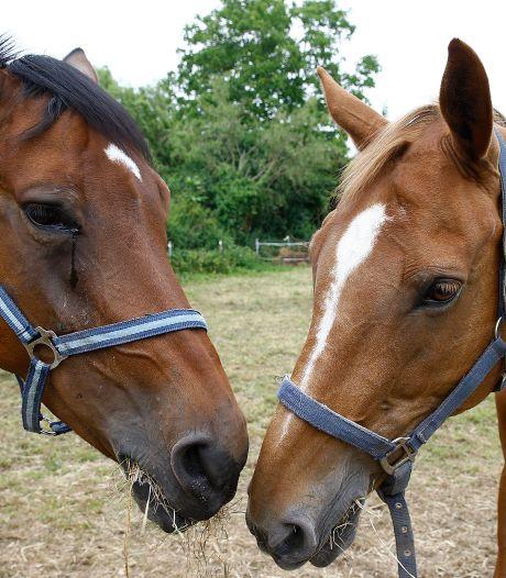 Twee loslopende paarden zorgen op de N57 voor file vlak voor de Brielsebrug