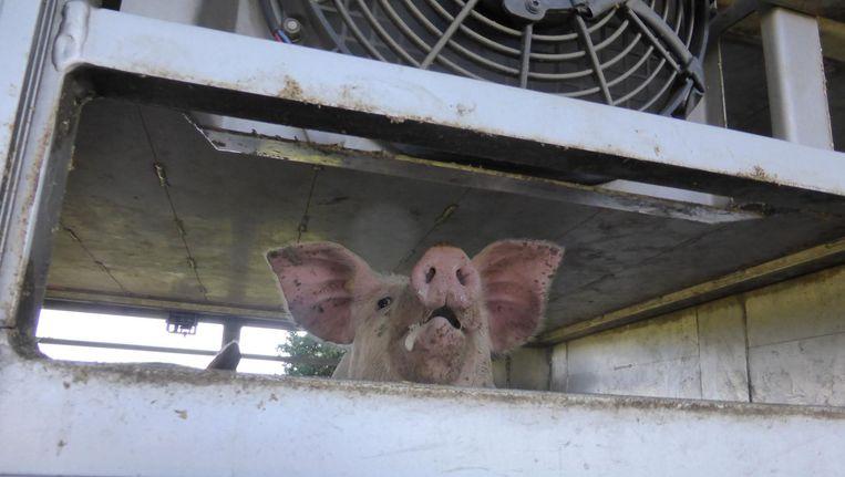 Varkens wachten in hete vrachtwagens tot ze in Boxtel naar het slachthuis gaan. In een enkel geval steeg de temperatuur in de wagen tot 45 graden. Beeld Eyes on Animals