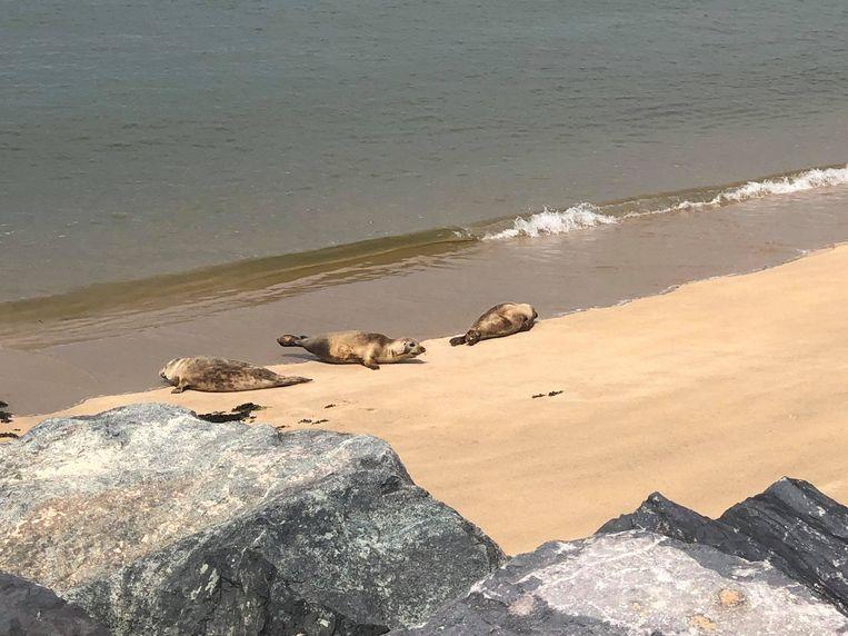 Zeehonden rusten uit op het strand van Oostende.