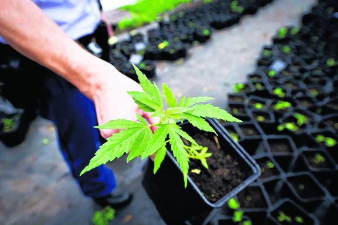 Wietplantjes in een pot. Foto: Valerie Kuypers/ANP