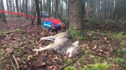 """Welkom Wolf roept op tot 'ontsnippering': """"Voorkomen dat Vlaanderen wolvenkerkhof van Europa wordt"""""""